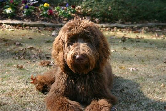 Doo South labradoodle Bentley