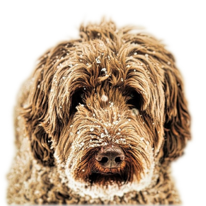Doo South Labradoodles home of the very best Labradoodles
